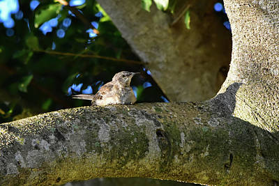 Photograph - Mockingbird And Its Shadow by William Tasker