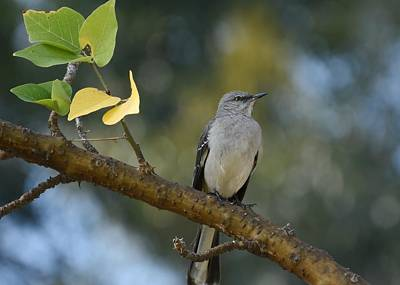 Photograph - Mockingbird In Morning Light by Fraida Gutovich
