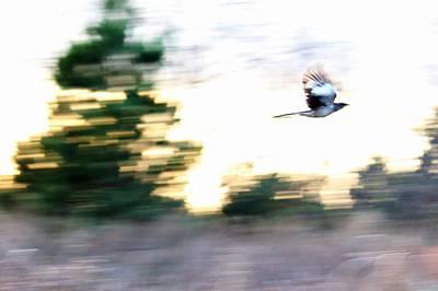Wall Art - Photograph - Mockingbird In Motion by Dene Brock