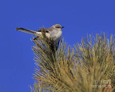 Mockingbird In White Pine Art Print