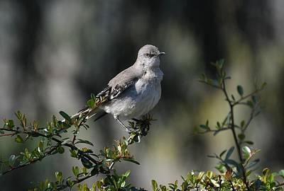 Photograph - Mockingbird Portrait by Fraida Gutovich