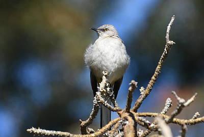Photograph - Mockingbird Puff by Fraida Gutovich