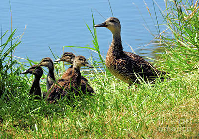 Photograph - Mom And Baby Ducklings by Elaine Manley