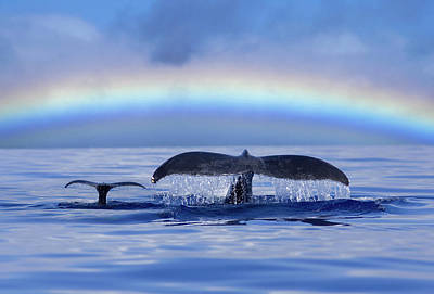 Animal Family Photograph - Mom And Calf Humpback Whales Off Maui by David Olsen