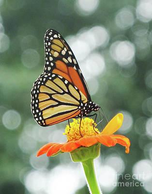 Photograph - Monarch 12 by Lizi Beard-Ward