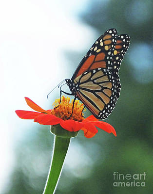 Photograph - Monarch 13 by Lizi Beard-Ward