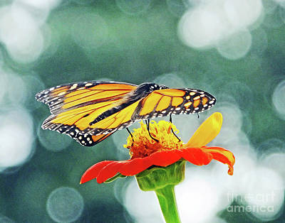 Photograph - Monarch 14 by Lizi Beard-Ward