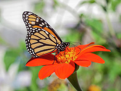 Photograph - Monarch 2018-19 by Thomas Young