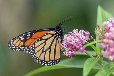Photograph - Monarch 2018-20 by Thomas Young