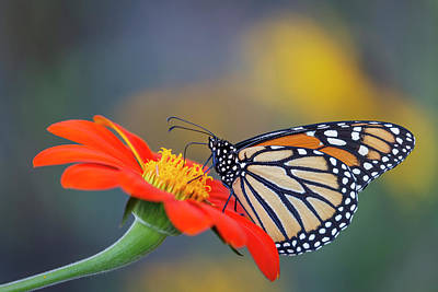 Photograph - Monarch 2018-22 by Thomas Young