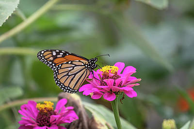 Photograph - Monarch 2018-23 by Thomas Young