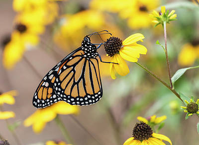 Photograph - Monarch 2018-24 by Thomas Young
