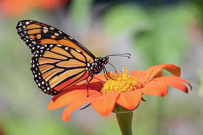 Photograph - Monarch 2018-25 by Thomas Young
