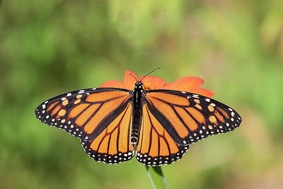 Photograph - Monarch 2018-26 by Thomas Young