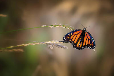 Photograph - Monarch 7 by Bill Wakeley