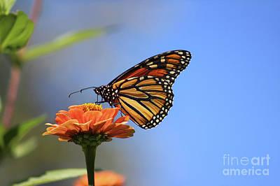 Photograph - Monarch And Blue Sky by Karen Adams