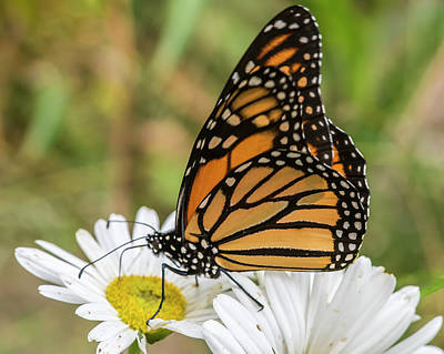 Photograph - Monarch And Daisies by Cathy Kovarik