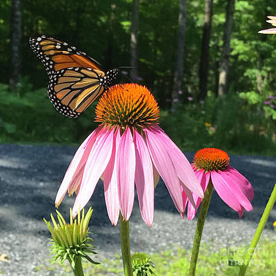 Photograph - Monarch And Echinacea 1 by Amy E Fraser