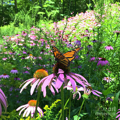 Photograph - Monarch And Echinacea 2 by Amy E Fraser