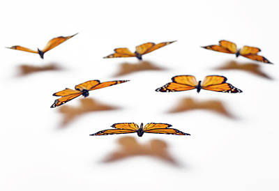Butterfly Photograph - Monarch Butterflies by Jeffrey Coolidge
