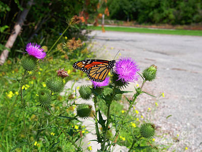 Photograph - Monarch Butterfly Danaus Plexippus On A Thistle by Louise Heusinkveld