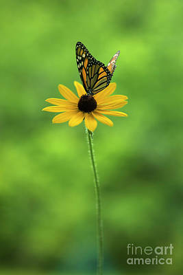 Royalty-Free and Rights-Managed Images - Monarch Butterfly by Diane Diederich