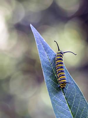 Pub Photograph - Monarch Butterfly Grub On A Leaf by Alberto J. Espiñeira Francés - Alesfra