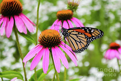 Photograph - Monarch Butterfly In A Field Of Pink Coneflowers by Sheila Skogen