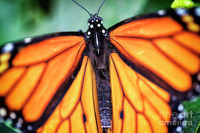 Photograph - Monarch Butterfly by John Rizzuto