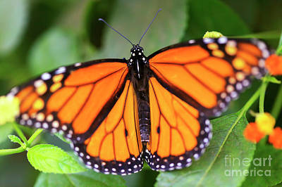Photograph - Monarch Butterfly Landing by John Rizzuto