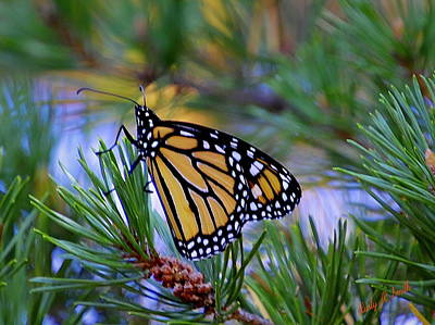 Digital Art - Monarch Butterfly On A Pine Bough. by Rusty R Smith