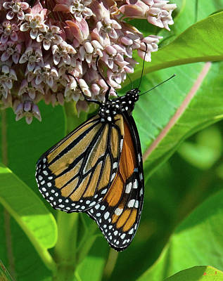 Photograph - Monarch Butterfly On Common Milkweed Din0061 by Gerry Gantt