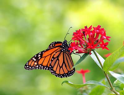 Insect Photograph - Monarch Butterfly On Flower by Photo By Cathy Scola