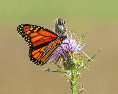 Photograph - Monarch Butterfly On Thistle 1 by Lara Ellis