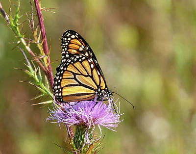 Photograph - Monarch Butterfly On Thistle 4 by Lara Ellis