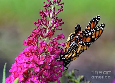 Abstract Sailboats - Monarch Butterfly Recently Emerged From Pupas by Cindy Treger
