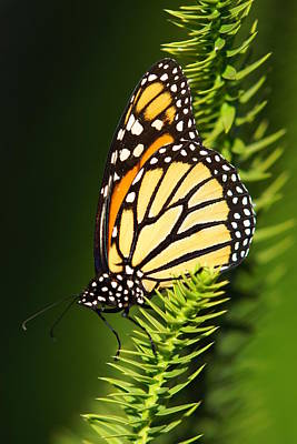 Botanical Photograph - Monarch Butterfly by The Photography Factory