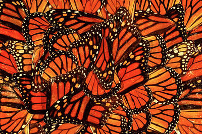 Photograph - Monarch Butterfly Wings by Michael Sewell Visual Pursuit