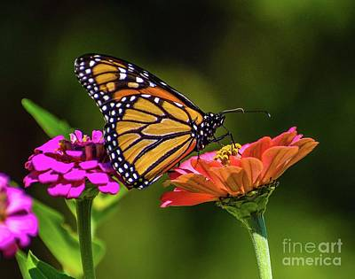 Airplane Paintings - Monarch Feeding On Zinnia by Cindy Treger