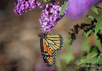 Photograph - Monarch Hanging On by Karen Adams
