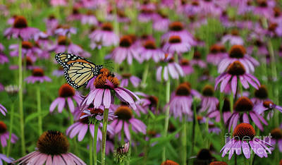Photograph - Monarch In Coneflower Field by Sheila Skogen