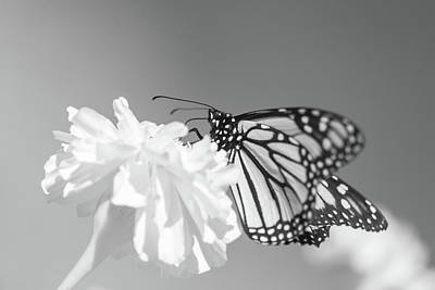 Photograph - Monarch In Infrared 2 by Brian Hale