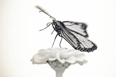 Photograph - Monarch In Infrared 4 by Brian Hale