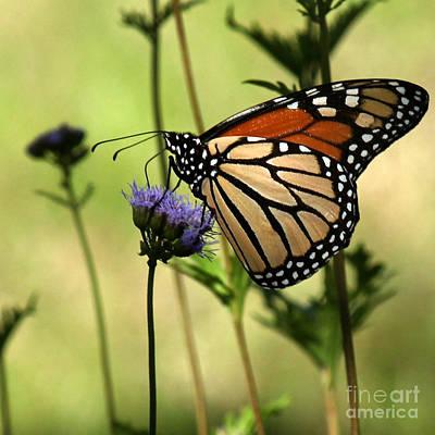 Photograph - Monarch Majesty by Diana Black