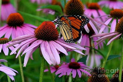 Photograph - Monarch On Coneflower by Sheila Skogen