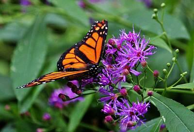 Photograph - Monarch On Purple Flowers by Cynthia Guinn