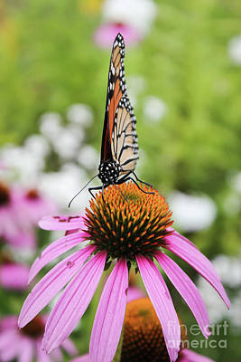 Photograph - Monarch by Sheila Skogen