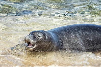 Photograph - Monk Seal Pup Having Fun, No. 4 - Pk1 by Belinda Greb