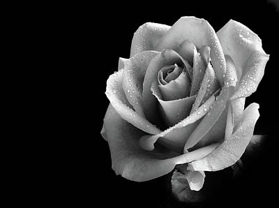 Photograph - Mono Rose by Perry Correll