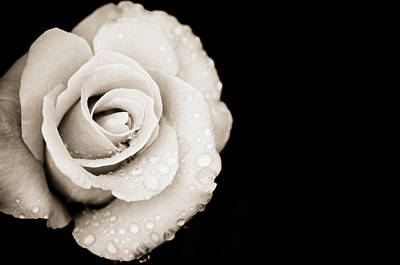 Flowers And Water Drops Wall Art - Photograph - Monochrome Rose With Rain Drops by Ogphoto